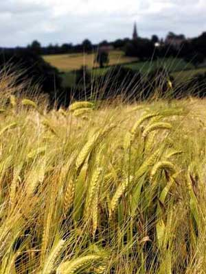 Preventing fusarium in grain production